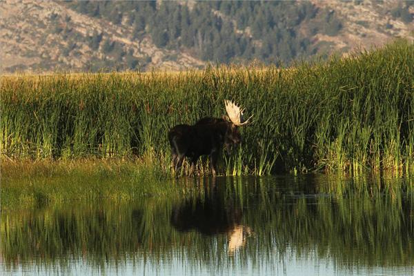 Bull Moose Gone Wild