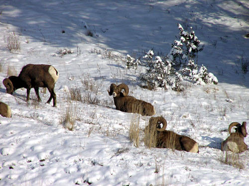 Winter Rams - Bighorn Sheep Pictures