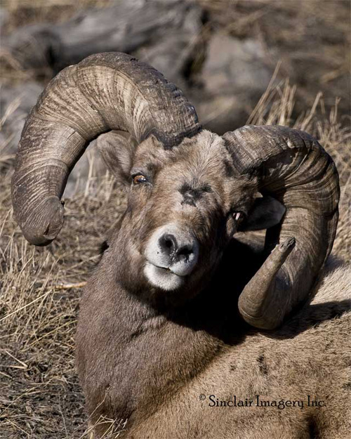 Rams-n-Bulls