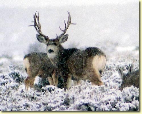 Winter Bucks III