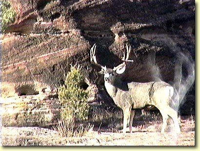 A Great Red Rock Buck