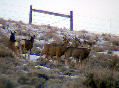 Winter Range Bucks
