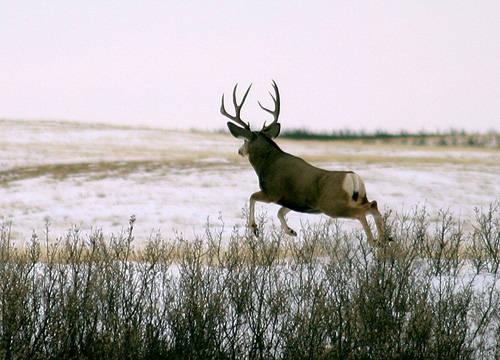 Saskatchewan - Hard Horned II
