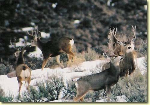 Winter Bucks II