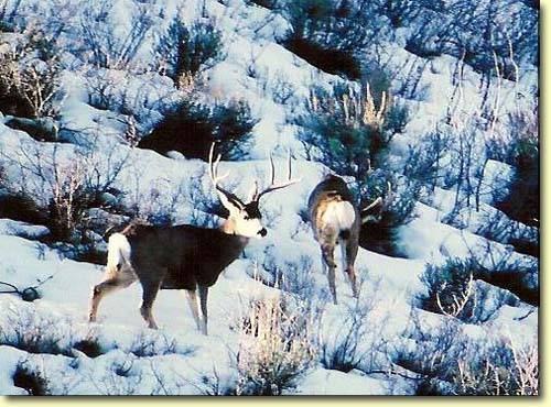 Winter Bucks II