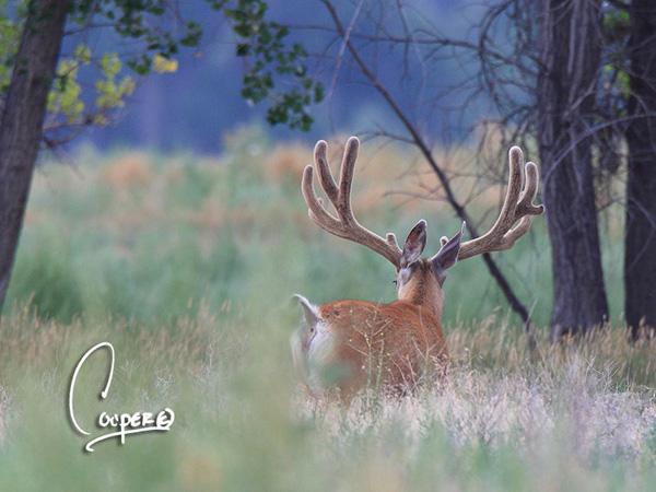 Whopper Velvet Bucks