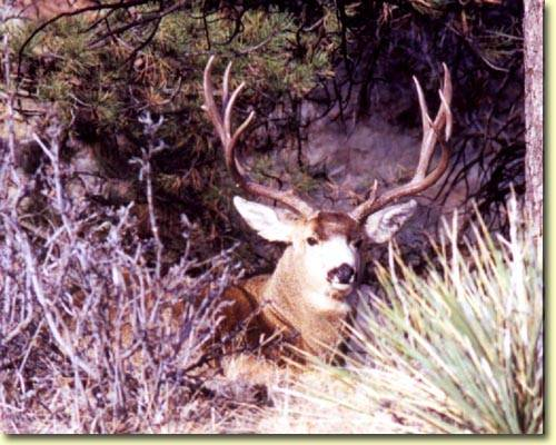 Colorado Trophy Bucks