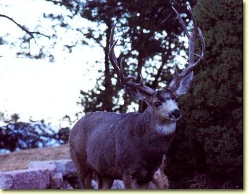Colorado Trophy Bucks