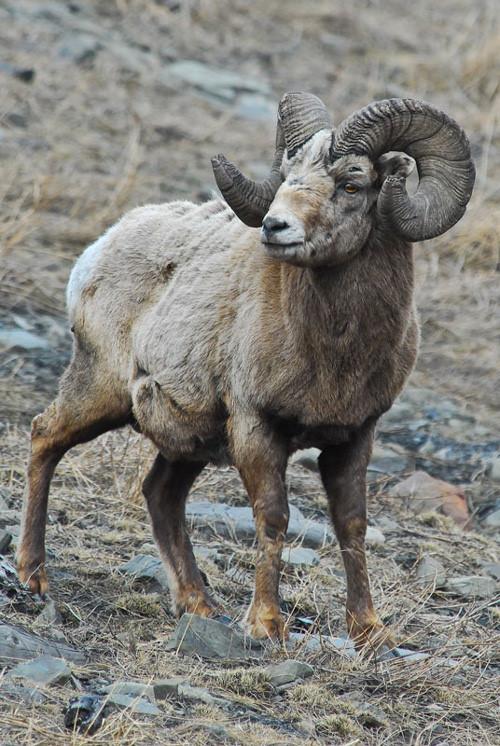 Big Ole' Rams