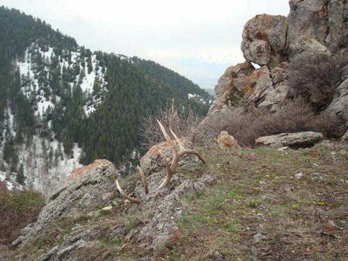 Insanely Awesome Elk Shed Antler Photos Gohunt